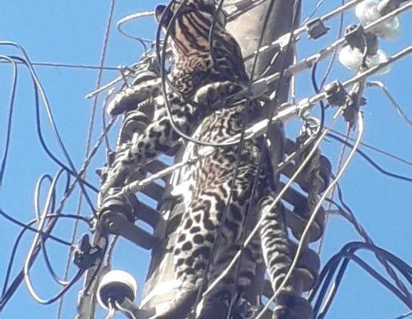 Light encontra jaguatirica na rede elétrica no RJ; pandemia aumenta casos com animais